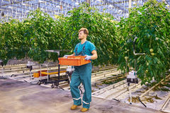 Young attractive man harvesting tomatoes in greenhouse Stock Image