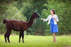 Young attractive woman feeding a brown alpaca Royalty Free Stock Photos