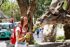 Young attractive woman feeding a giraffe at the zoo Royalty Free Stock Image