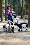 Young attractive woman feeding group of goats Stock Images