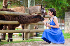Young attractive woman feeding a group of lama Royalty Free Stock Images