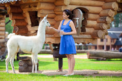Young attractive woman feeding a white lama. In farm Royalty Free Stock Photography