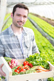 Young attractive woman harvesting vegetable in a greenhouse Royalty Free Stock Photography