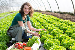 Young attractive woman harvesting vegetable in a greenhouse Stock Photography