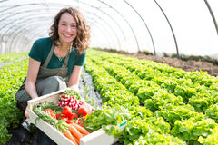 Young attractive woman harvesting vegetable in a greenhouse Stock Photos