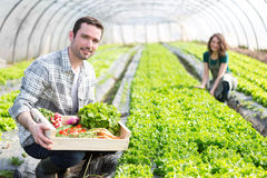 Young attractive woman harvesting vegetable in a greenhouse Royalty Free Stock Photos