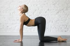 Young attractive woman in Bitilasana pose, studio background. Young attractive woman practicing yoga, doing asana paired with Cat Pose on the exhale, Cow Royalty Free Stock Images