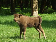 Young aurochs. On a special farm in Russia Royalty Free Stock Photos