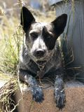 Puppy dog in the grass. A young Australian cattle dog sitting on brick in tall grass Stock Images