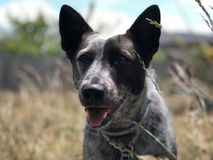 Puppy dog in the grass. A young Australian cattle dog sitting on brick in tall grass Stock Photography