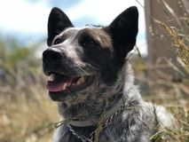 Puppy dog in the grass. A young Australian cattle dog sitting on brick in tall grass Stock Photos
