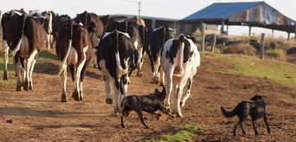 Young Australian kelpie Pup Learning to work. A Young Kelpie Pup Learning to Work by Bringing in the Dairy Herd of Cows with a more experienced Dog Looking on Stock Images
