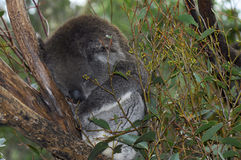 Young Australian Koala Royalty Free Stock Image