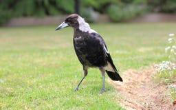 Young Australian Magpie Stock Photos