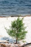 Young Australian Pine. Small Australian pine beginning life on a shell beach Royalty Free Stock Photo