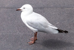 Young Australian Seagull with Immature Dark Beak and Feet Royalty Free Stock Photo