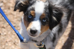 Young australian shepherd dog. A young australian shepherd dog with a blue leash looking at the camera with nose focus Stock Images