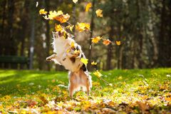 Young Australian shepherd playing with leaves Royalty Free Stock Photo