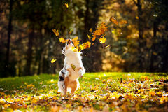 Young Australian shepherd playing with leaves Royalty Free Stock Images