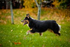 Young Australian shepherd walks in autumn Royalty Free Stock Photo