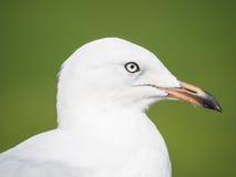 Young Australian Silver Gull (Chroicocephalus novaehollandiae) H Stock Images