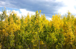 Young Autumn Aspen Grove Stock Photo