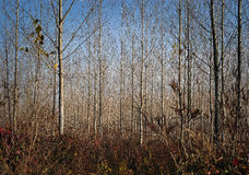 Young autumn forest trees Royalty Free Stock Photo