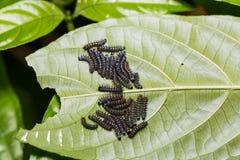 Young Autumn Leaf caterpillars Stock Image
