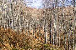 Young autumn sunny beech forest and road Stock Photo