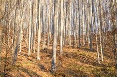 Young autumn sunny beech forest Stock Photos