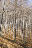 Young autumn sunny beech forest Stock Photo