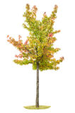 Young autumnal maple tree Yellow red green leaves Royalty Free Stock Image