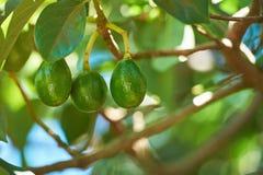 Young avocado fruits royalty free stock image