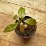 Young avocado plant Royalty Free Stock Photos