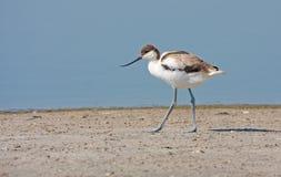 Young avosete. (recurvirostra avosetta) walking on sand near water Royalty Free Stock Image