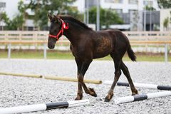 Young award winner friesian horse pose outdoors. Photo of a few month old purebred friesian foal royalty free stock image
