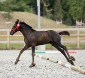 Young award winner friesian horse pose outdoors. Young purebred friesian foal posing on race track outdoors stock images