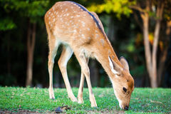 Young axis deer Royalty Free Stock Image