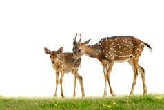 Young axis deers on grass. Young axis deers family in grass over a white stock images