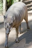 Young Babirusa male pig Stock Image