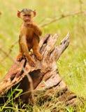 Young Baboon stock photos
