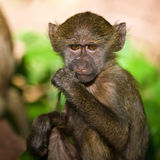 Young baboon. In the beautiful forest of Lake Manyara National Park, Tanzania royalty free stock photos