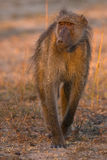 Young baboon. In very short grass in greater kruger park Royalty Free Stock Photos