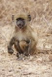 Young baboon eating Royalty Free Stock Image