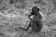 Young Baboon Stock Photo