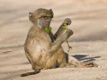 Young baboon feeding on tender shoots. Social structure based on group composition, omnivorous diet Stock Photo