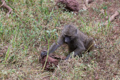 A young baboon looking for food. Turning over a rock. Serengeti, Tanzania royalty free stock photo