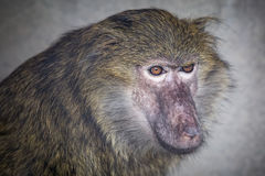 Young baboon is looking to the side.  stock photo