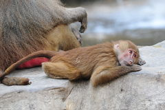 Young baboon lying on a rock Royalty Free Stock Photo
