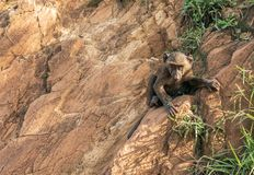 Young baboon monkey animal climbing and clinging onto rocks by the Nile River in Ethiopia Africa. Other monkeys are curious and fighting stock image